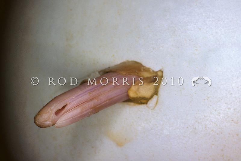 11001-01304 North Island brown kiwi (Apteryx mantelli) close-up of chick's bill breaking through shell