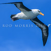 11001-09702 Campbell black-browed albatross (Thalassarche imparvida) soaring *