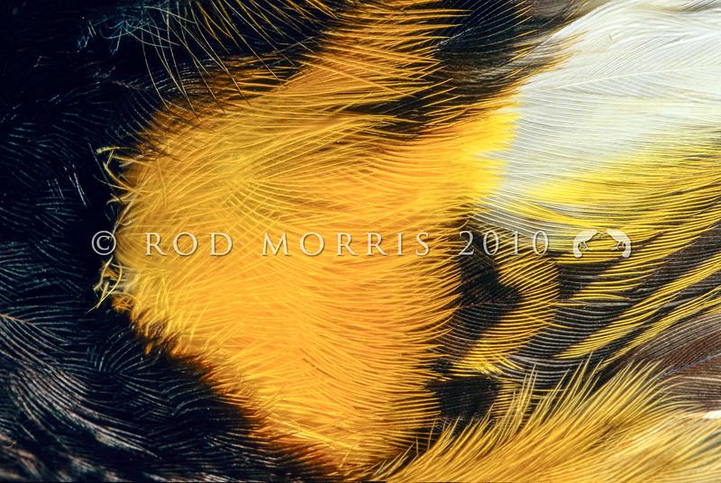 11001-83306  Stitchbird or hihi (Notiomystis cincta) detail of male's yellow feathers