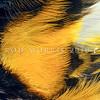 11001-83306  Stitchbird or hihi (Notiomystis cincta) detail of male's yellow feathers. Little Barrier Island *