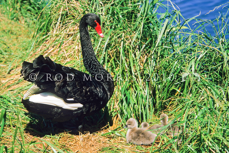 11001-39901 Black swan (Cygnus atratus) male guarding cygnets. A widespread and abundant Australian species found throughout NZ and the Chatham Islands. But fossil bones reveal NZ and the Chathams once had their own endemic black swan, 'pouwa' (Cygnus sumnerensis) separated by a lineage of one to two million years. The now extinct NZ swan is common in archaeological deposits. It was 20-30% heavier than the modern black swan, with shorter wings and longer stronger legs. *