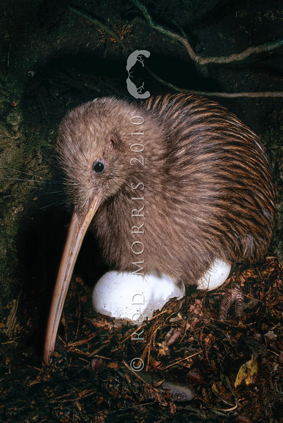 11001-01202  Eastern brown kiwi (Apteryx mantelli) with two eggs in breeding burrow *