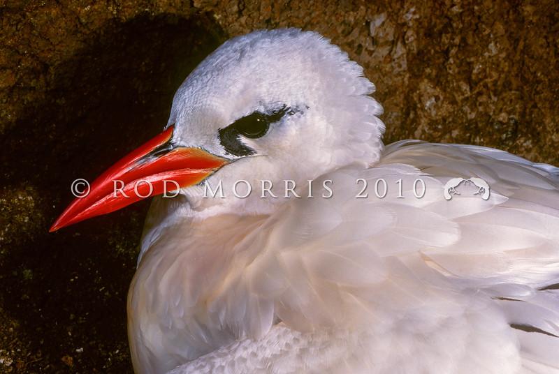 11701-31004  Red-tailed tropicbird (Phaethon rubricauda) head of adult on nest