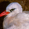 11701-31004  Red-tailed tropicbird (Phaethon rubricauda) head of adult on nest