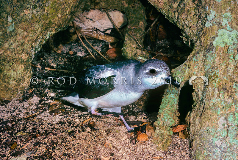 11701-20001  Black-winged petrel (Pterodroma nigripennis) adult leaving nest chamber. Lord Howe Island *