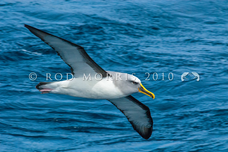 DSC_0282 Northern Buller's albatross (Thalassarche bulleri platei) adult soaring at sea.