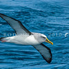 DSC_0282 Northern Buller's albatross (Thalassarche bulleri platei) adult soaring at sea *