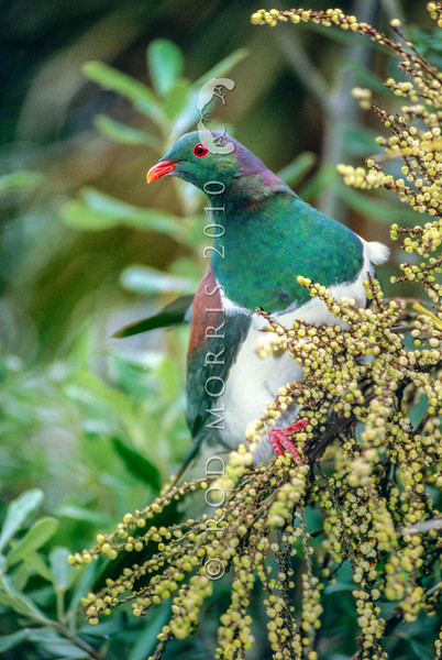 11001-69503 Kereru or New Zealand pigeon (Hemiphaga novaeseelandiae) male feeding on Cordyline berries. Dunedin *