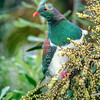 11001-69503 Kereru or New Zealand pigeon (Hemiphaga novaeseelandiae) male feeding on Cordyline berries. Dunedin *