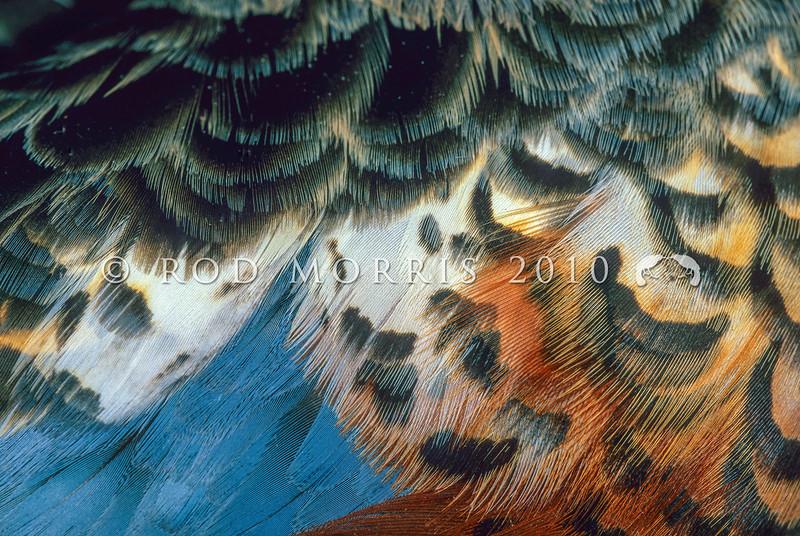 11001-44116 Australasian shoveller (Anas rhynchotis) detail of breeding plumage of male