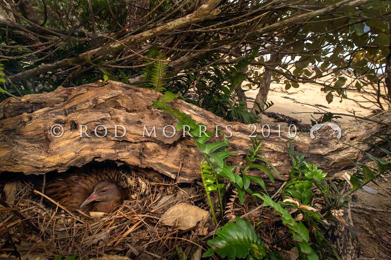 DSC_3375 Stewart Island weka (Gallirallus australis scotti) female on nest. Ulva Island *