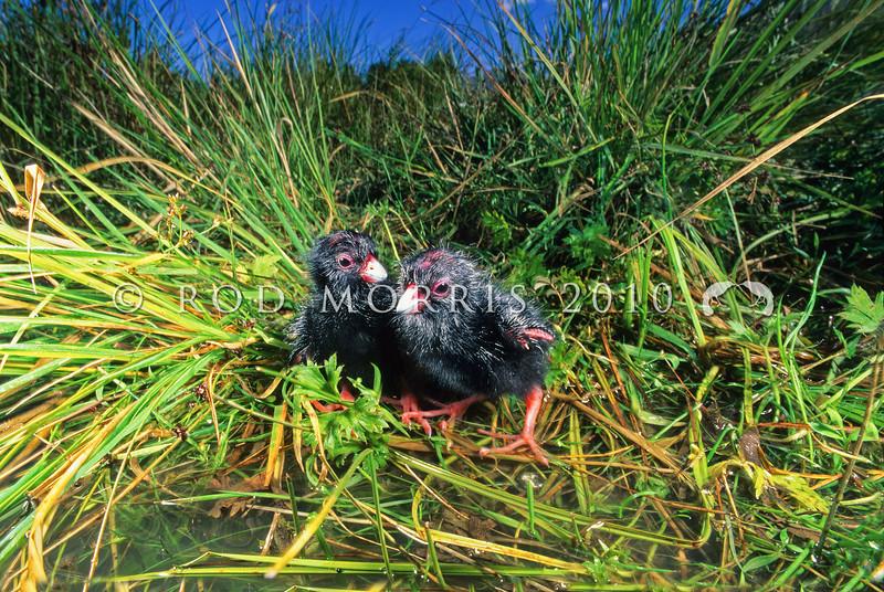 11001-50721 Pukeko (Porphyrio melanotus melanotus) two recently hatched chicks just out of nest. Ahuriri River *