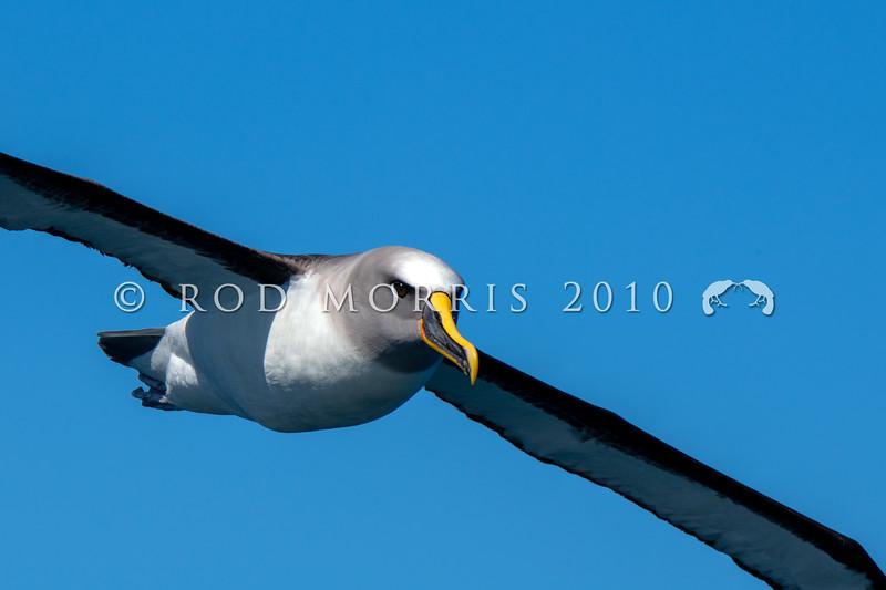 DSC_3000 Northern Buller's albatross (Thalassarche bulleri platei) adult soaring at sea near Pyramid Rock, Chatham Islands *