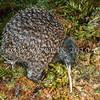 11001-05316 Great spotted kiwi (Apteryx haastii) deformed adult with three legs. Westport