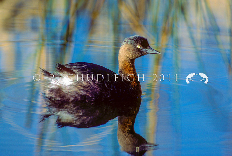 11001-06304 NZ dabchick (Poliocephalus rufopectus) adult male swimming. Now found only in the North Island. Last South Island breeding was in Fiordland in the 1940's, and it is now considered extinct in the South Island *