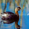 11001-06304 NZ dabchick (Poliocephalus rufopectus) adult male swimming. Now found only in the North Island. Last South Island breeding was in Fiordland in the 1940's, and it is now considered extinct in the South Island