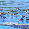 11001-60701 Bar-tailed godwit (Limosa lapponica baueri) group feeding in shallows on mudflat at low tide. Taramaire *