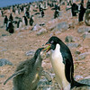 11001-26502  Adelie penguin (Pygocelis adeliae) a circumpolar breeder from the Ross Sea region of Antarctica. Here an adult regurgitates squid to its large downy chick