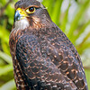 DSC_4255 New Zealand falcon (Falco novaeseelandiae) adult female 'bush' falcon from the North Island, Rotorua *