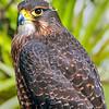 DSC_4255 New Zealand falcon (Falco novaeseelandiae) adult female 'bush' falcon from the North Island, Rotorua