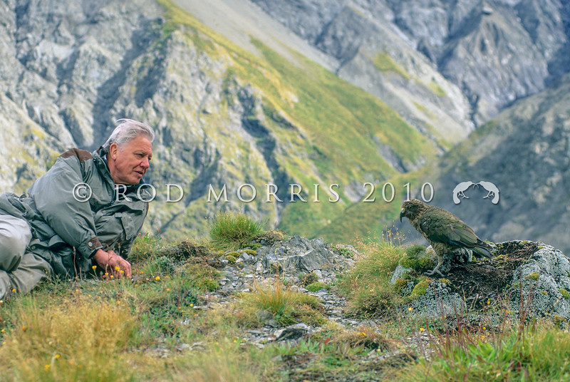 11001-72730 Kea or mountain parrot (Nestor notabilis) with Sir David Attenborough during the filming for 'Life of Birds'. Upper Kowhai Stream, Seaward Kaikoura Range *