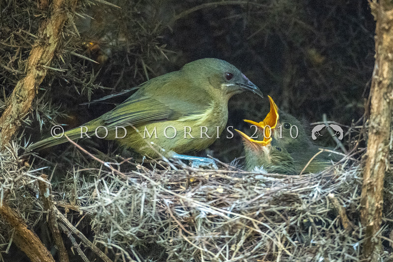 DSC_0914  Bellbird (Anthornis melanura melanura) female feeding young at nest in gorse. Mihiwaka *