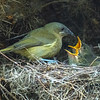 DSC_0914  Bellbird (Anthornis melanura melanura) female feeding young at nest in gorse. Dunedin *
