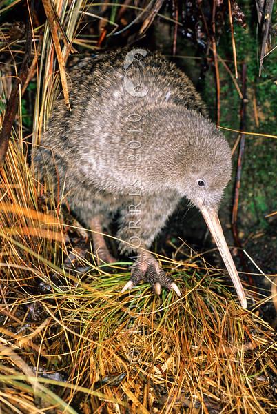 11001-05202 Great spotted kiwi (Apteryx haastii) adult female in  tussock. Northwest Nelson