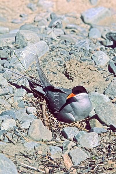 11001-64805 Black-fronted tern (Chlidonius albostriatus) male incubating on nest.