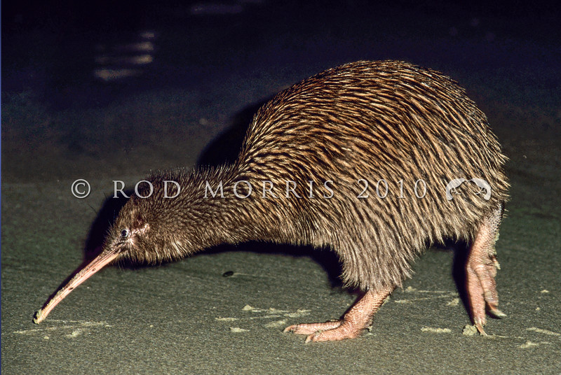 11001-03211 Stewart Island brown kiwi, or tokoeka (Apteryx australis lawryi) walking on beach