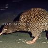 11001-03211 Stewart Island brown kiwi, or tokoeka (Apteryx australis lawryi) walking on beach *