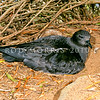 11801-20609 Kermadec petrel (Pterodroma neglecta neglecta) 'dark-phased' adult on nest on forest floor. Philip Island, Norfolk Group
