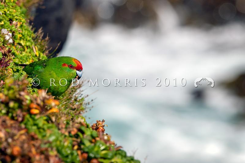 DSC_0069 Red-crowned parakeet, or kakariki  (Cyanoramphus novaezelandiae novaezelandiae) male feeding on gentian (Gentianella cerina) seeds  and flowers on the sea coast. Enderby Island, Aucklands Group *