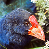 11001-51312  Takahe (Porphyrio hochstetteri) close up of head of rare giant flightless rail once believed extinct. Photograph taken in April 1975. Dana Peak, Murchison Mountains *