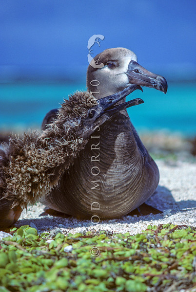 14001-00610  Black-footed albatross (Phoebastria nigripes) adult with 'begging' chick. Only once recorded straggling to NZ at Dusky Sound in 1884. Breeds on the Hawaiian Leeward Islands *