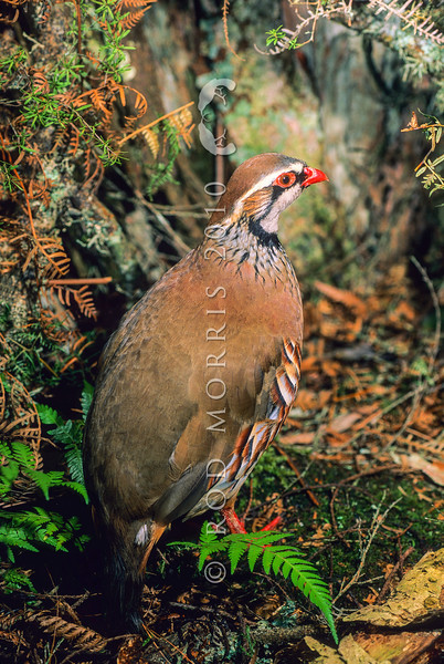 11001- 46801  Red-legged partridge (Alectoris rufa rufa) an introduced game bird that has been repeatedly introduced but largely failed to establish. However reported sightings of this species persist from the South Auckland area, and from the Waikato.