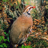 11001- 46801  Red-legged partridge (Alectoris rufa rufa) attempts at introducing this game bird began in the 1890's with many repeated  introductions which have largely failed. However since recent releases in the 1980's reported sightings of this species have persisted from the South Auckland area, and from the Waikato *