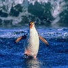 11001-29222  Royal penguin (Eudyptes schlegeli) breeding bird coming ashore *