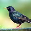 11001-86605 Common starling (Sturnus vulgaris vulgaris) male in breeding plumage. These noisy introduced birds form spectacular vast flocks in autumn and winter evenings, as they head to their communal roosts. Miranda *