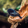 11001-81501 Snares tomtit (Petroica macrocephala dannefaerdi) largest of the five New Zealand tomtit subspecies, and entirely black, looking similar to a Chatham Island black robin, but with glossy plumage. Confined to subantarctic Snares Island *