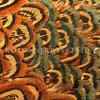 11001-47327  Ring-necked pheasant (Phasianus colchicus torquatus) closeup detail of plumage feathers