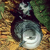 11801-19503  White-naped petrel (Pterodroma cervicalis) pair. A recent colonist on Philip Island where this photograph was taken