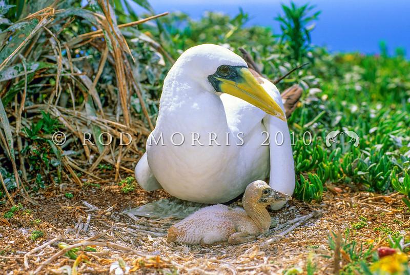 11801-33008  Masked or Tasman booby (Sula dactylatra tasmani) adult with young chick. Philip Island, Norfolk Group *