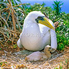 11801-33008  Masked or Tasman booby (Sula dactylatra tasmani) adult with young chick