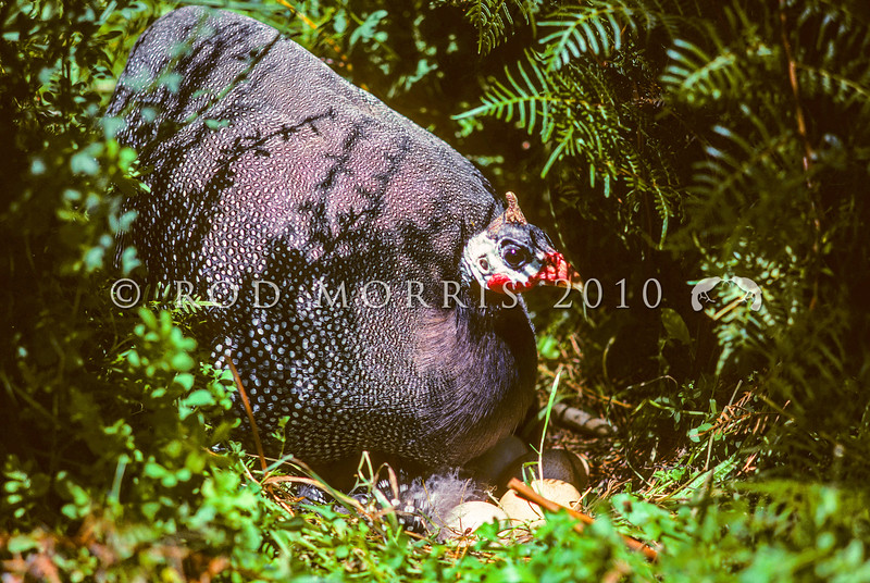 11001-47602  Helmeted guineafowl (Numida meleagris) this African species has long been a domesticated breed in NZ. Since the sixties, several self-sustaining populations have established in North, and South Auckland. This feral female is on a nest in the Waikato.