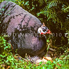 11001-47602  Helmeted guineafowl (Numida meleagris) this African species has long been a domesticated breed in NZ. Since the sixties, several self-sustaining populations have established in North, and South Auckland. This feral female is on a nest in the Waikato *