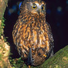11001-75915 Morepork (Ninox novaeseelandiae novaeseelandiae) adult with freshly captured lesser short-tailed bat (Mystacina tuberculata). Rangataua Forest *