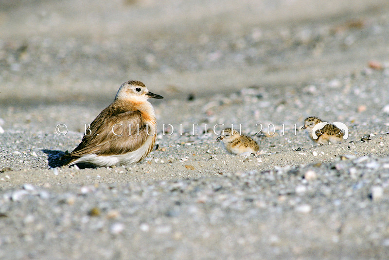 11001-54021 Northern NZ dotterel (Charadrius obscurus aquilonius) female guarding downy chicks on beach *