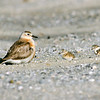 11001-54021 Northern NZ dotterel (Charadrius obscurus aquilonius) female guarding downy chicks on beach