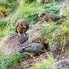 11001-72521 Kea or mountain parrot (Nestor notabilis) group including young birds hunting for Hutton's shearwater chicks in burrows. Seaward Kaikouras *